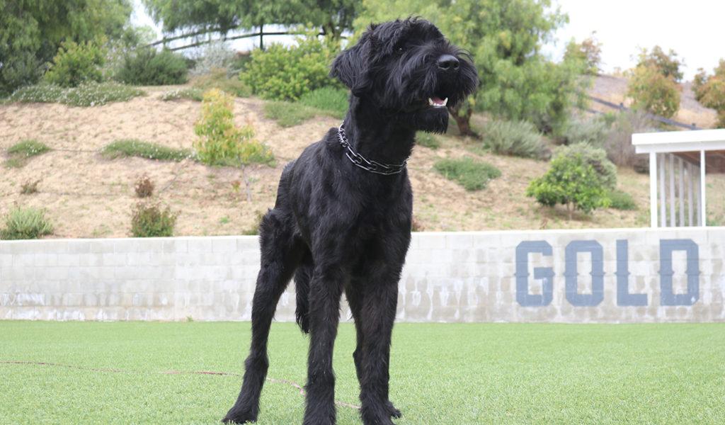 Giant Schnauzer Home Protection Dog