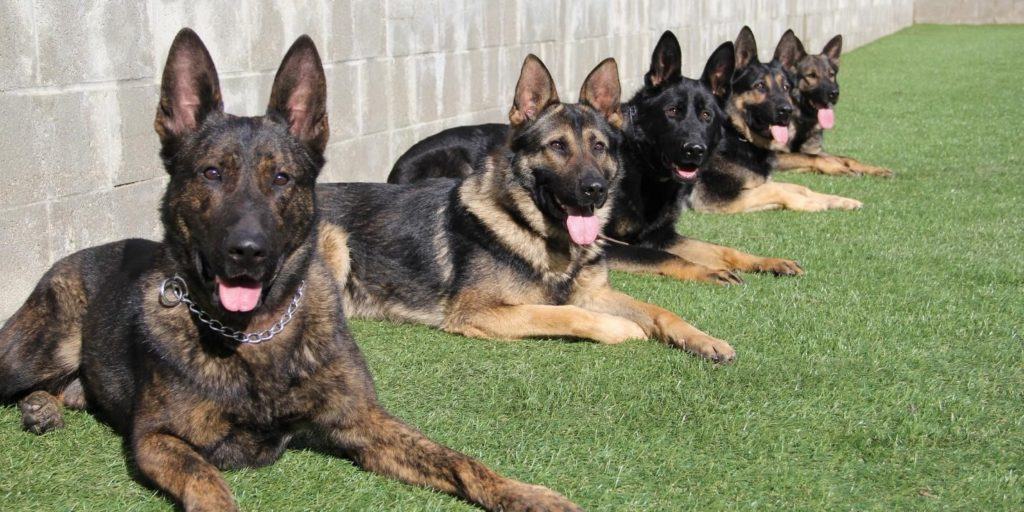 Best Dog Breeds for Home & Family Protection